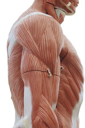 nervios: Anatom�a Humana - tronco estructura muscular