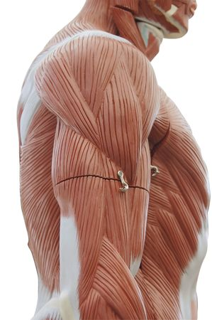 Human anatomy - trunk muscle structure photo