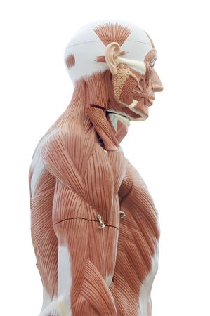 tendons: Human anatomy - structure of head and trunk muscles and tendons Stock Photo