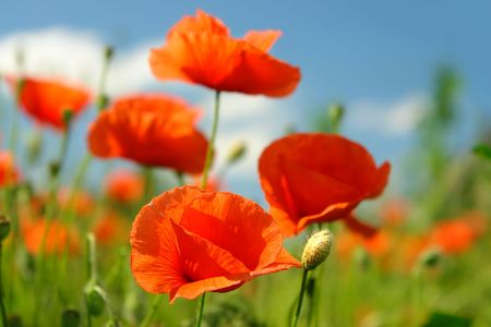 Field of poppy flowers in blossom against blue sky photo