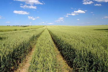 winter wheat: Field of ripening winter wheat corn