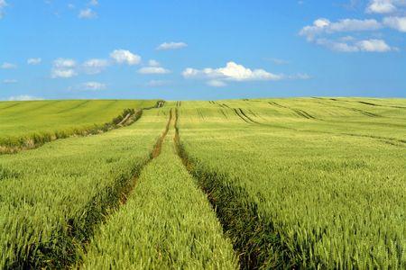 winter wheat: Field of unripe winter wheat corn Stock Photo