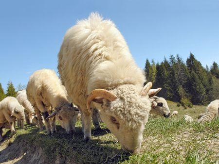 Herd of sheep grazing on mountain pasture photo