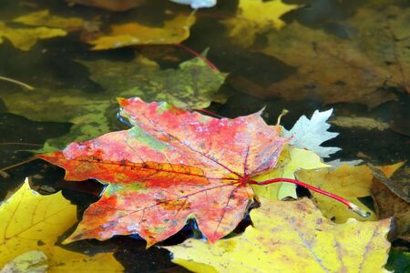 Maple leaves in colorful autumn colors floating on water surface photo