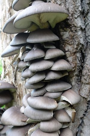 Group of tree fungi growing on tree trunk