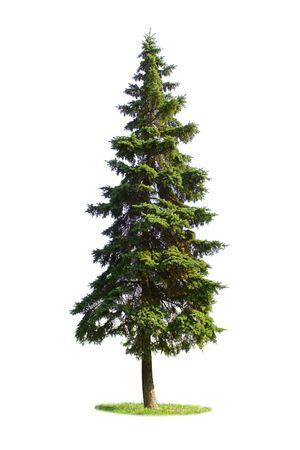 Giant spruce tree isolated on white background Stockfoto