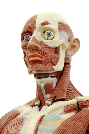 mannequin head: Human anatomy - structure of head muscles and tendons