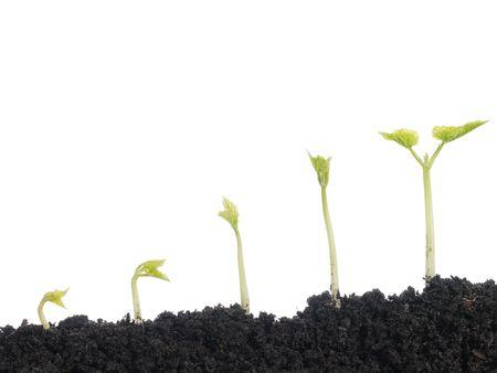 germinaci�n: Cinco etapas de la vegetaci�n de plantas de frijol dispar� m�s de fondo blanco