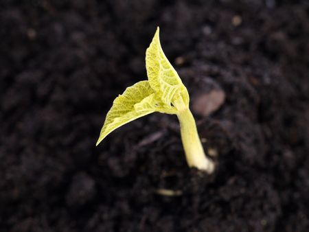Closeup of young bean sprout growing out of soil Stock Photo - 4403944