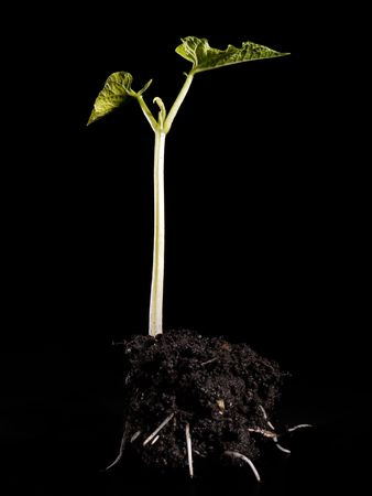 Young bean sprout germination - shot over black background Stock Photo - 4403945