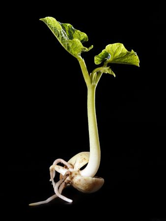 black seeds: Young bean sprout germination - shot over black background