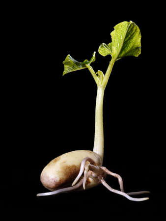 Young bean sprout germination - shot over black background Stock Photo - 4431640