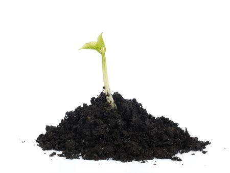 Young bean sprout growing on soil hump - shot over white background Stock Photo - 4431641