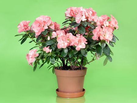 azalea: Pink azalea flowers in pot over light green background Stock Photo