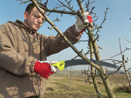 ciruela pasa: Jardinero joven manzana poda las ramas de los árboles con sierra de podar