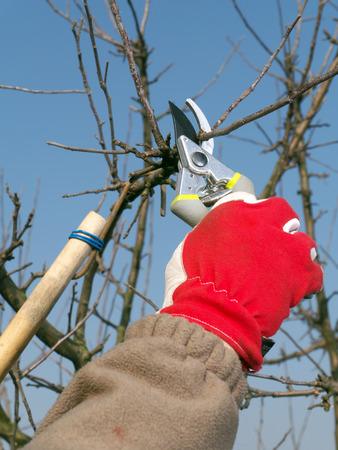 ciruela pasa: Jardinero podando ramas de los árboles de manzana con tijeras de podar