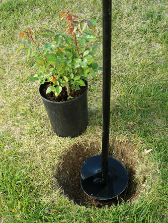 pot hole: Potted rose shrub ready to be planted into the ground