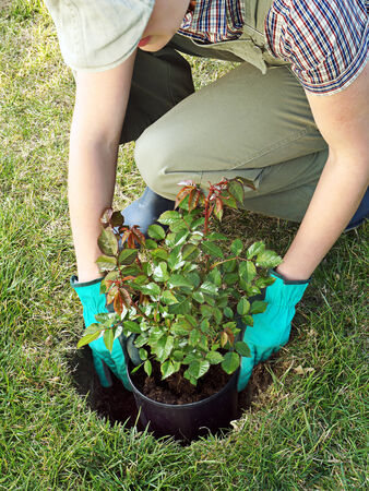 pot hole: Female gardener trying potted rose shrub in the dug hole in her backyard garden Stock Photo