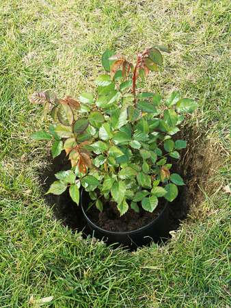 pot hole: Potted rose shrub placed in the dug hole before being planted in the ground Stock Photo