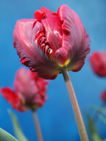 Red parrot tulips shot on blue background photo
