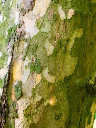 プラタナス: シカモアの木の幹の樹皮のクローズ アップ
