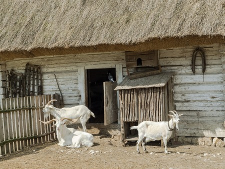 Typical old style Polish farmstead with thatched barn and three goats  Stock Photo