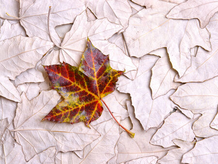 Maple leaf in vivid fall colors on a bed of dried dead sycomore maple leaves photo