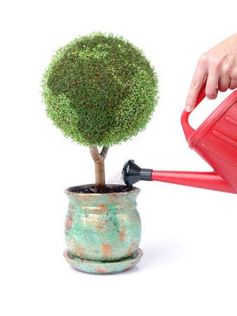 environmental awareness: Potted green globe plant being watered with red watering can over white background Stock Photo