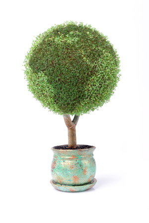 Potted plants: Potted green globe plant over white background