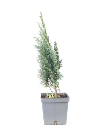 thuja: Potted thuja tree over white