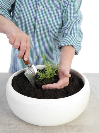 plantlet: Female senior gardener planting aspic seedling in big white ceramic pot