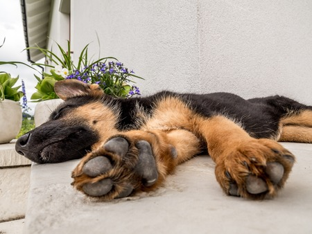 german shepherd dog: German shephard puppy blithely sleeping outside on the house porch