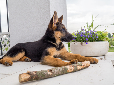 German shepherd puppy charging outside on the house porch photo