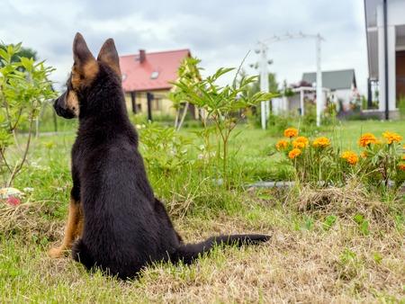 German shepherd puppy charging outside in the house backyard photo