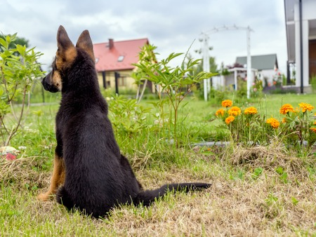 german shepherd puppy: German shepherd puppy charging outside in the house backyard Stock Photo
