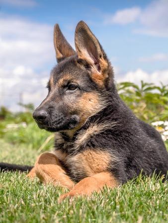 German shepherd puppy lying down in the grass photo