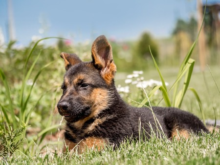 german shepherd puppy: German shepherd puppy lying down in the grass