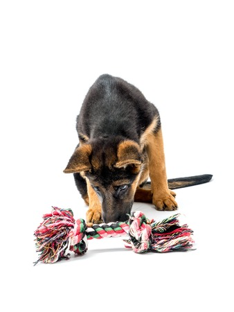 german shepherd puppy: Three month German Shepherd puppy playing with puppy toy shot on white