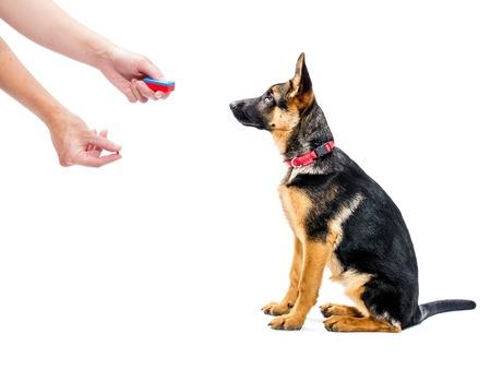 obediencia: Cachorro de pastor alemán está entrenando cómo sentarse utilizando clicker y tratar método