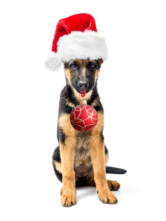 santa clause hat: German Shepherd puppy sitting and wearing red Santa Clause hat holding christmas ball in the muzzle shot on white Stock Photo