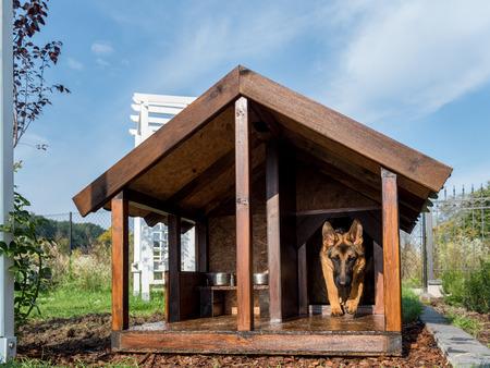 German shepherd leaving its wooden kennel photo