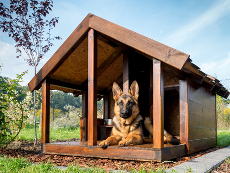 dog kennel: German shepherd resting in its wooden kennel