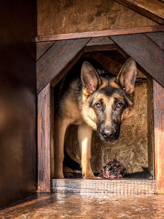 lurking: German shepherd lurking from its wooden kennel