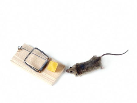 heed: Field mouse and mousetrap with cheese shot over white