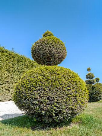 trimmed: Ball-shaped evergreen trimmed shrub in Versailles garden, France
