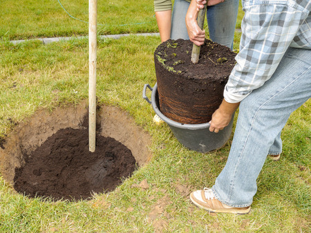 planting: Couple planting oak tree in their backyard garden