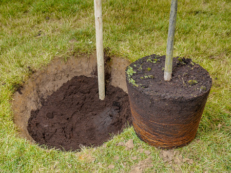 pot hole: Garden tree being planted into the ground