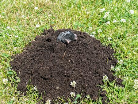 mole: Mole poking out of mole mound on grass