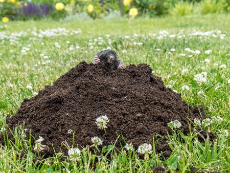 dwelling mound: Mole poking out of mole mound on grass