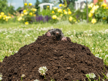 Mole poking out of mole mound on grass